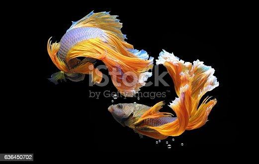 istock Siamese fighting fish 636450702