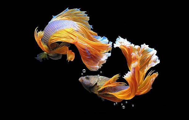 bojownik wspaniały - tropikalna ryba zdjęcia i obrazy z banku zdjęć