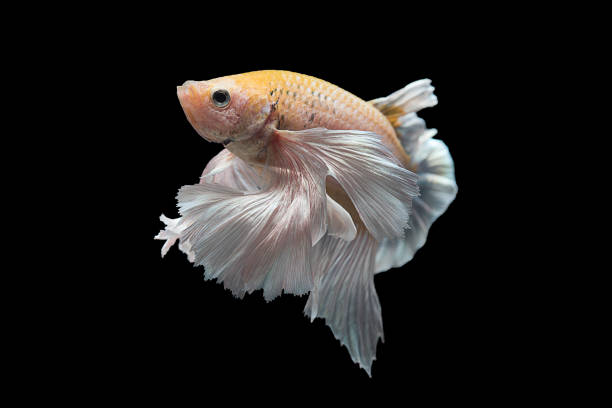 Royalty free japanese fighting fish pictures images and for Japanese fighter fish