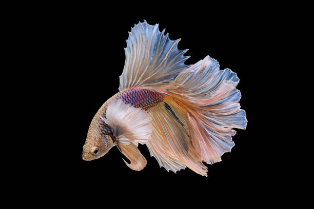 Royalty Free Japanese Fighting Fish Pictures, Images and ...