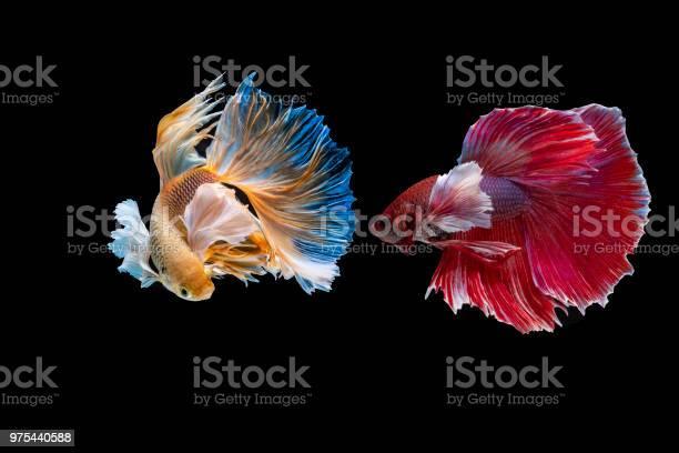 Siamese fighting fish picture id975440588?b=1&k=6&m=975440588&s=612x612&h=6ae3oj4uz5ksdsfwzno4odammtbqiyahol3sn4ohvpm=
