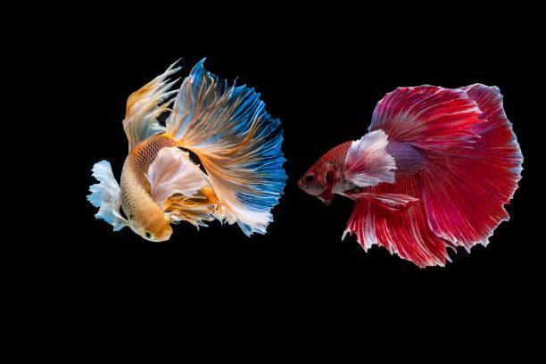 siamese fighting fish stock photo