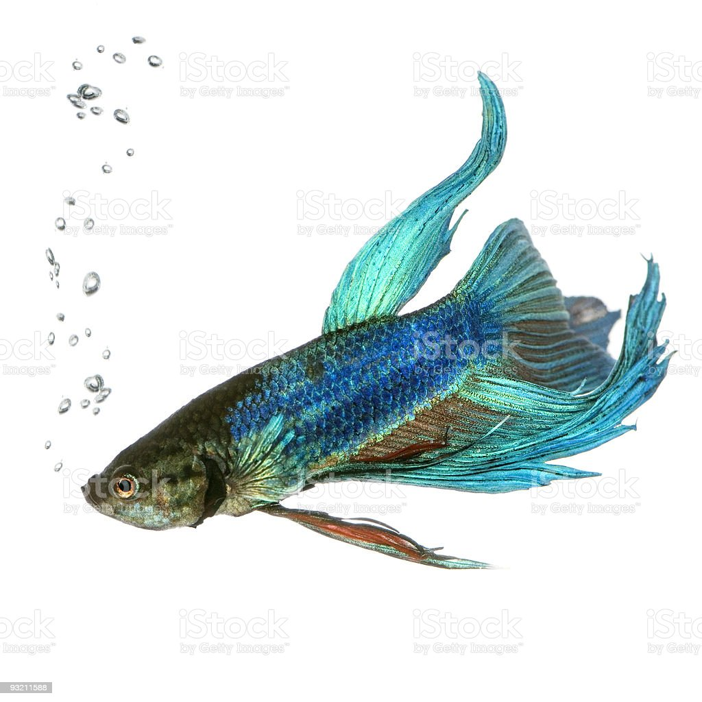 Siamese fighting fish with bubbles, isolated on white royalty-free stock photo