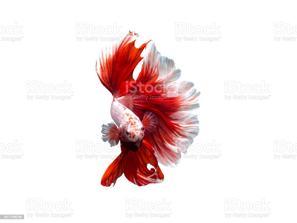 Siamese fighting fish,betta fish stock photo