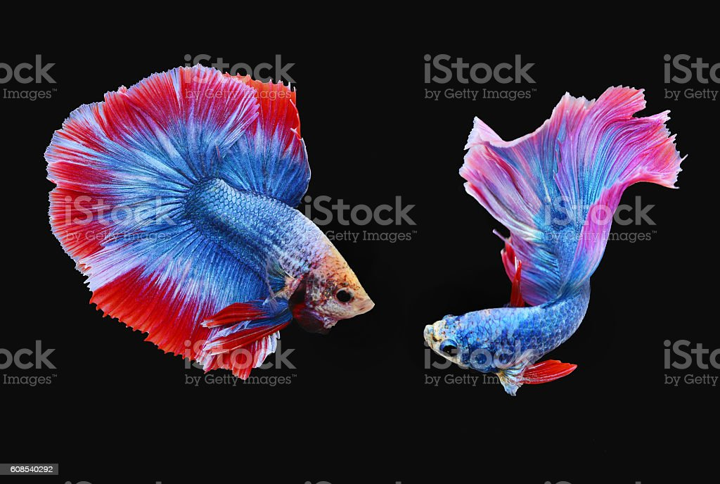 Siamese Fighting Fishes (Half moon) stock photo