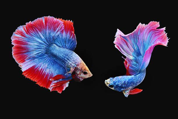 Siamese Fighting Fishes (Half moon) stock photo