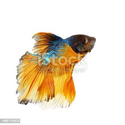 Poisson combattant siamois jaune et bleu betta photos et for Poisson combattant prix
