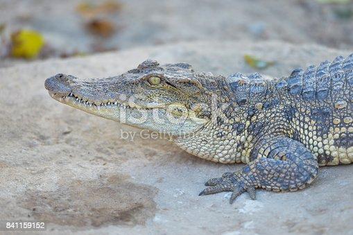istock Siamese Freshwater Crocodile.Crocodiles Resting at Crocodile Farm in Thailand 841159152