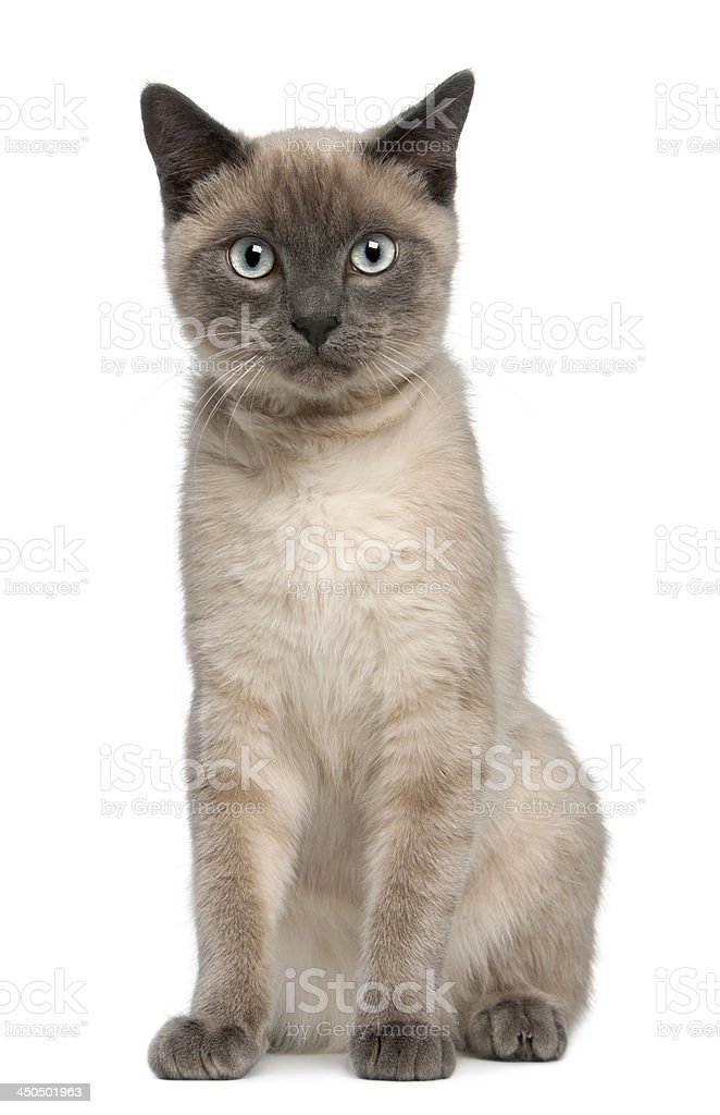 Siamese kitten, 6 months old stock photo