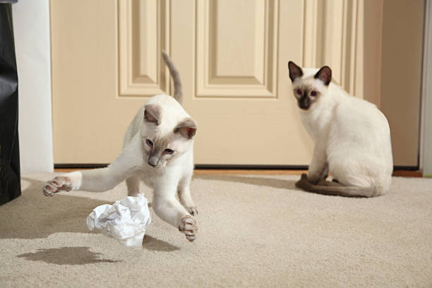 Siamese kitten compacting paper trash picture id183049636?b=1&k=6&m=183049636&s=612x612&w=0&h=fffrwirpvzhl9w4a741lwo sxna7ken0bxxywhnknhu=