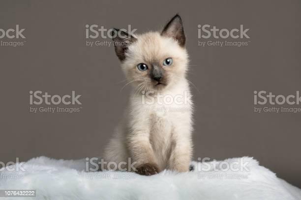 Siamese kitten picture id1076432222?b=1&k=6&m=1076432222&s=612x612&h=mrd97fi qktx6wjqxvg1twb piyv v3z9itsoyeiwty=