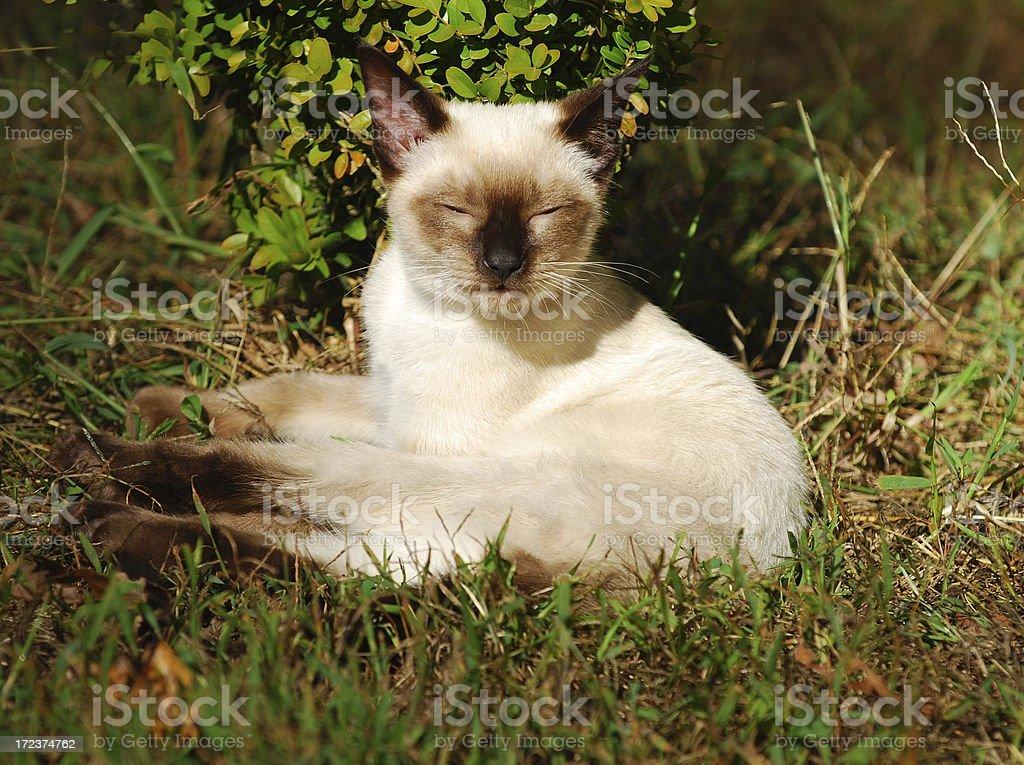 siamese kitten royalty-free stock photo