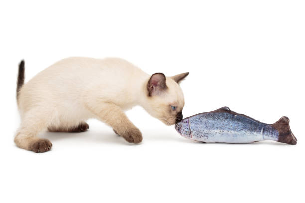 Siamese kitten playing toy fish picture id1166086645?b=1&k=6&m=1166086645&s=612x612&w=0&h=2zj  qqyu8znuhyy1 vav4rb6tu80y2tl8krpuzym9q=
