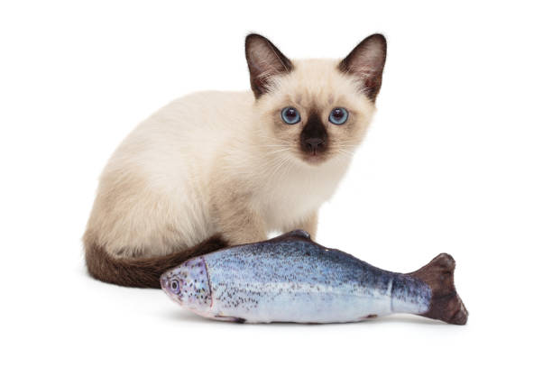 Siamese kitten playing toy fish picture id1167394860?b=1&k=6&m=1167394860&s=612x612&w=0&h=p4coky7ds3kcmmec6vpstibak2jnn1xz4o9f4px348k=