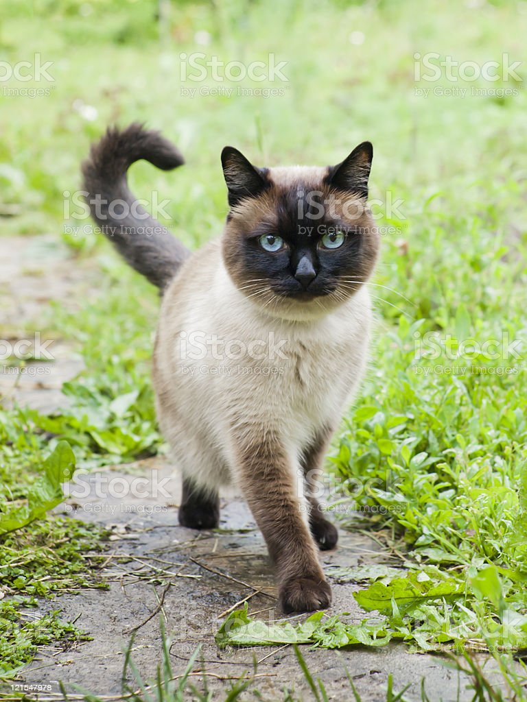 Siamese or Thai cat walking about on the garden stock photo