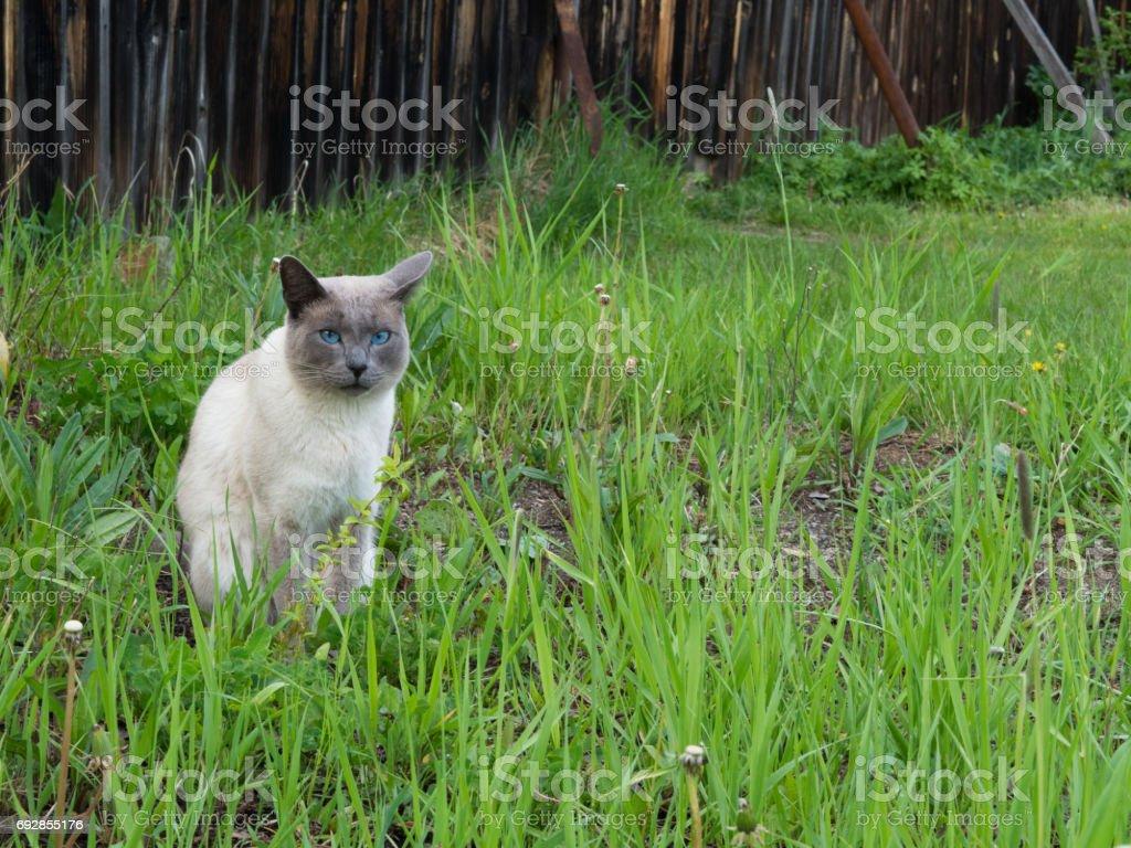 Siamese stock photo
