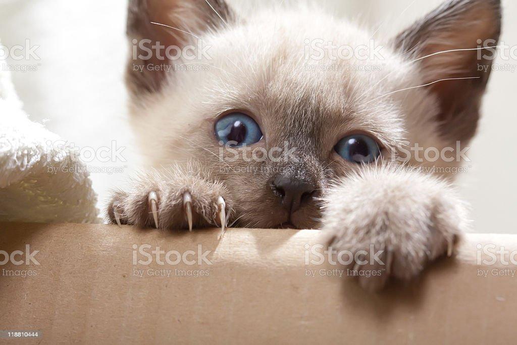 Siamese pussycat stock photo