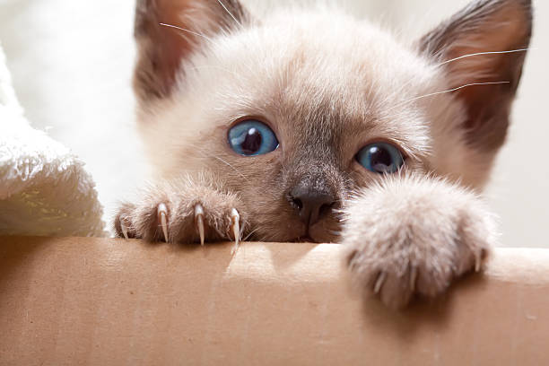 Siamese pussycat  claw stock pictures, royalty-free photos & images