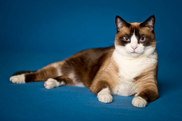 siamese sitting pretty siamese, sitting pretty, on blue background. tortoiseshell cat stock pictures, royalty-free photos & images