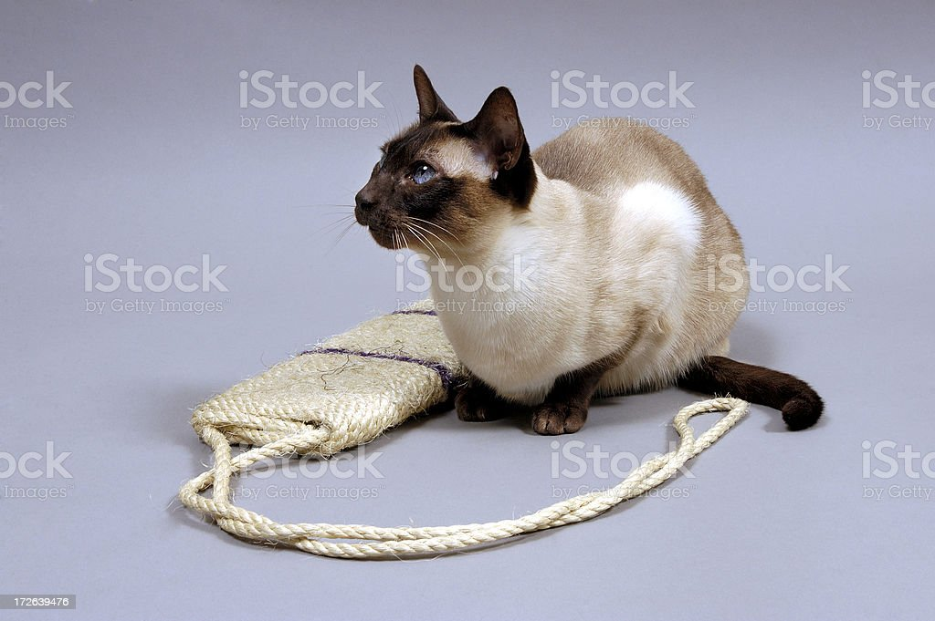 Siamese with scratching board royalty-free stock photo