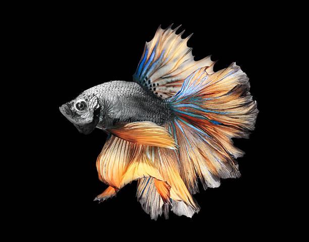 Siamess fighting fish,colorful half moon type. stock photo