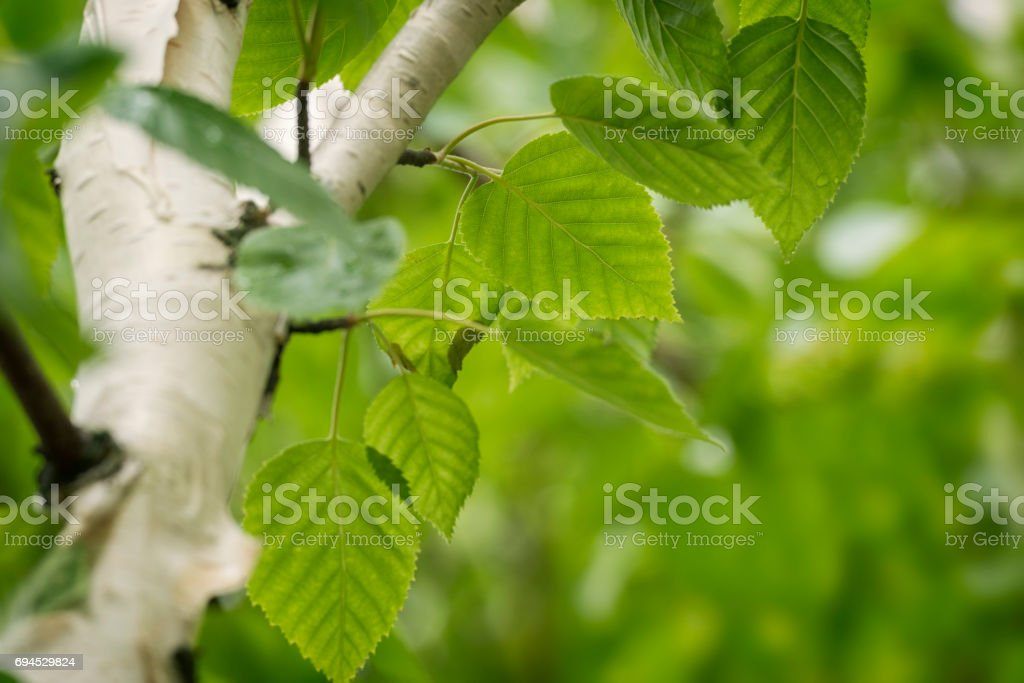 Siberian Birch tree stock photo