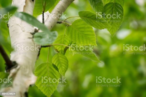 Photo of Siberian Birch tree