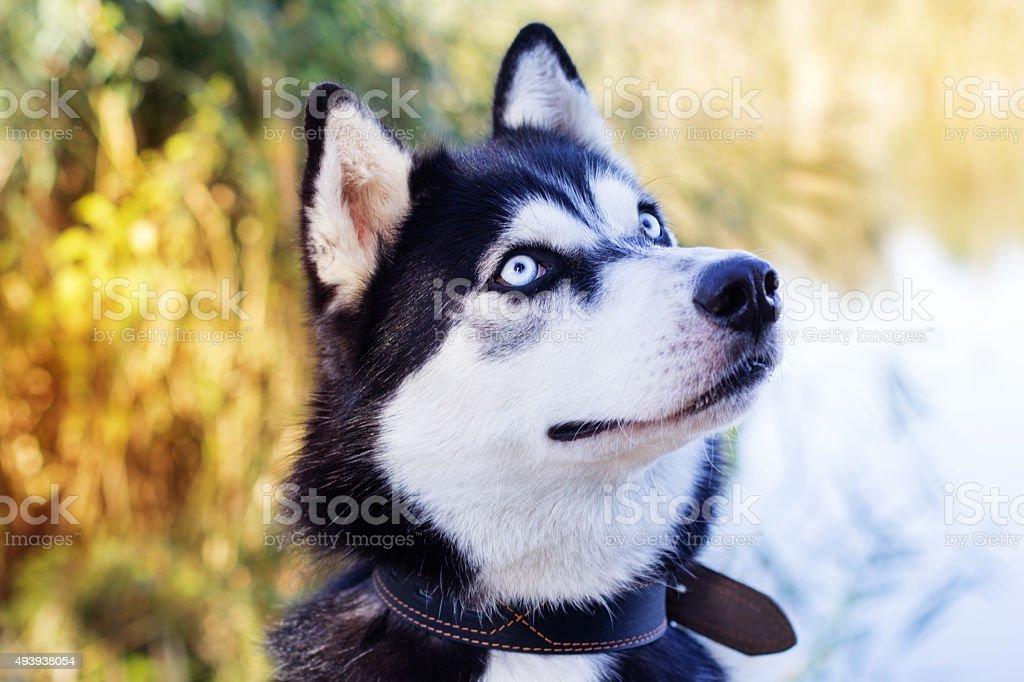 Husky siberiano bianco e nero cane con occhi azzurri - Husky con occhi diversi ...