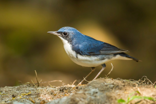 Siberian Blue Robin Stock Photo - Download Image Now