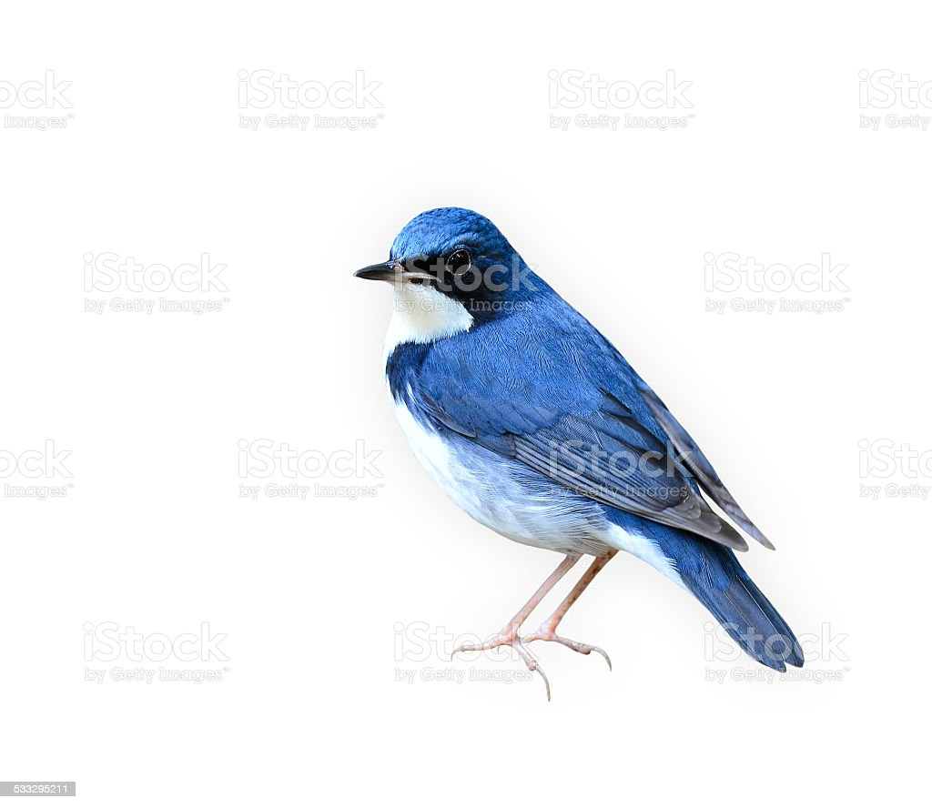Siberian blue robin,the  Beutiful blue and white bird isolated stock photo