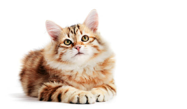 Siberian cat, a kitten lying and looking up. Isolated stock photo