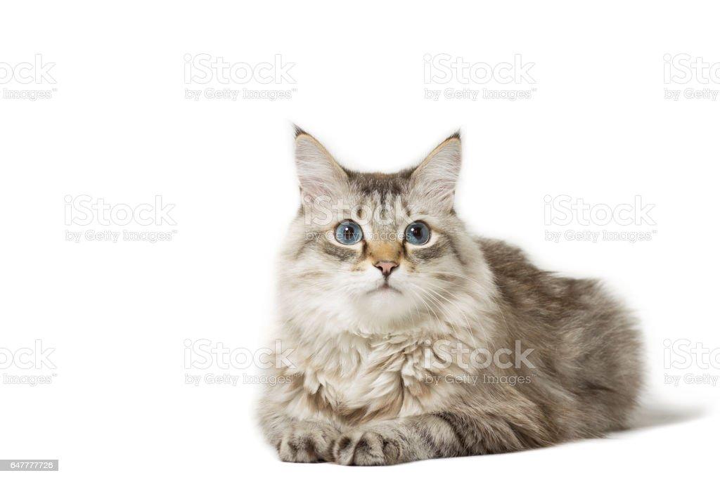 Siberian cat breed lying isolated on white stock photo