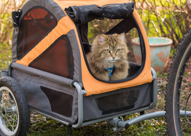 siberian cat in a bicycle trailer - cat leash stock photos and pictures