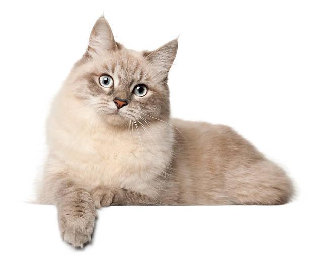 siberian cat, in front of white background - yatmak stok fotoğraflar ve resimler