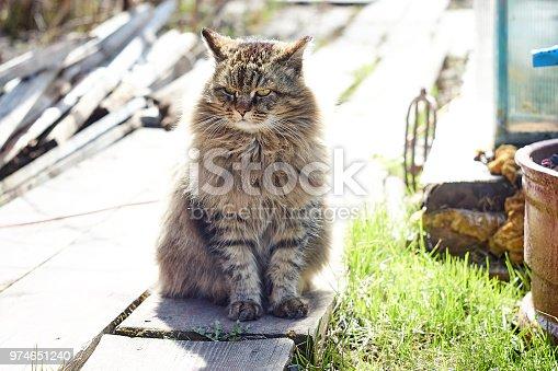 Siberian cat in shine turn head