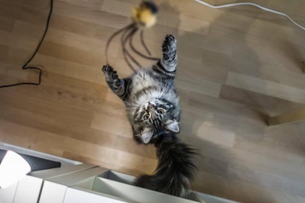 Siberian cat jumping for toy picture id961875730?b=1&k=6&m=961875730&s=612x612&w=0&h=ikxceqaebrxoxdeelekajbgtteaianwd7fkczl87umm=