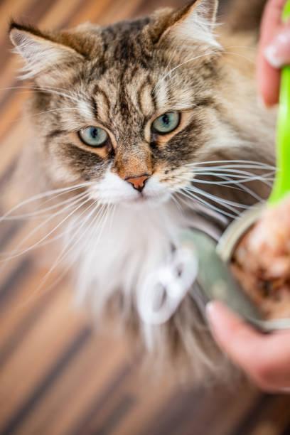 siberian cat looking at and anticipating cat can food - lata comida gato imagens e fotografias de stock
