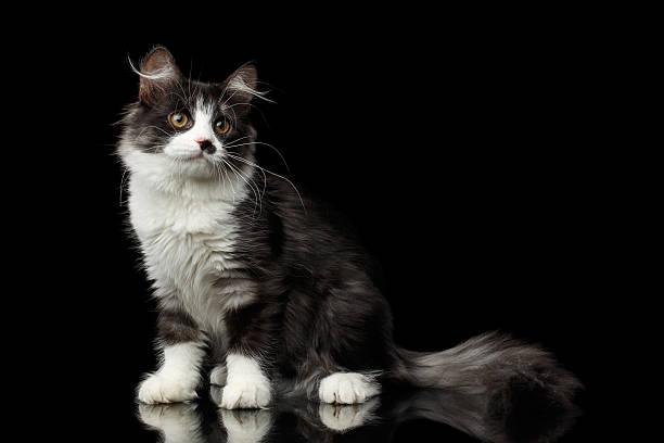 Siberian cat on isolated black background picture id637808736?b=1&k=6&m=637808736&s=612x612&w=0&h=6chtlf3tupn uvruapm55sa2ceai3hz8ztxidxiqse8=