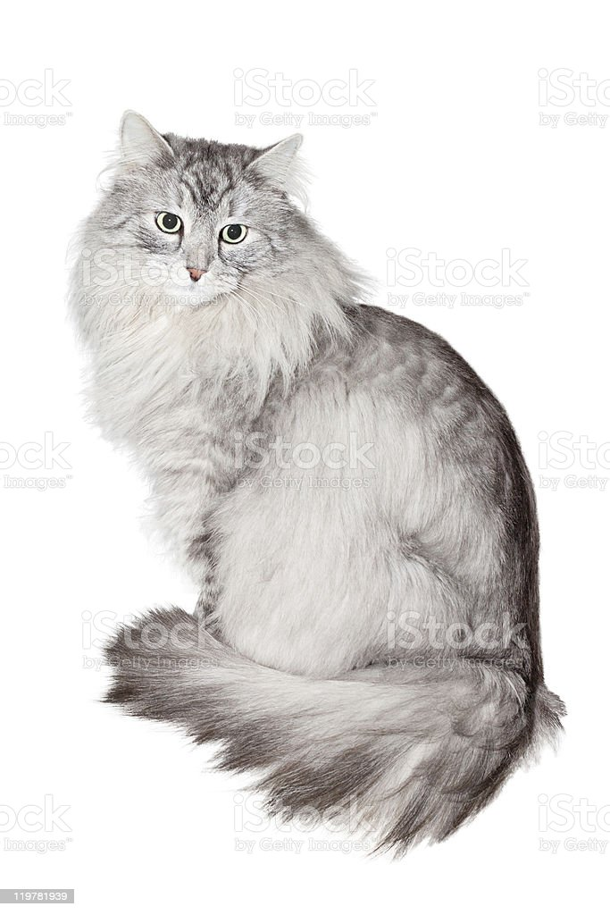 Siberian cat on white background stock photo