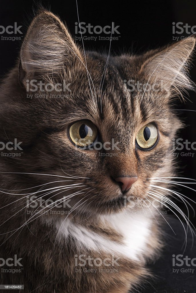 Siberian cat. royalty-free stock photo