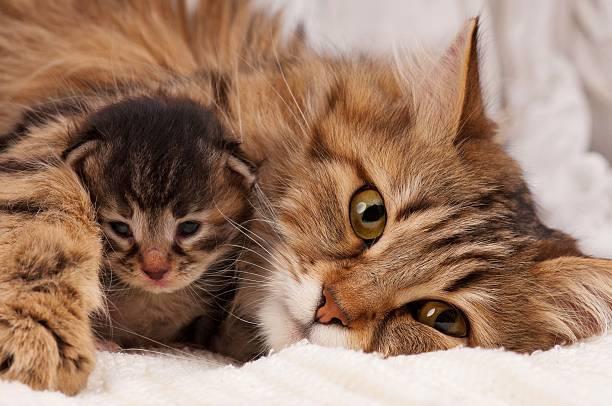Siberian cat picture id476791863?b=1&k=6&m=476791863&s=612x612&w=0&h=wjbwu1h6xhiscp wjpxzho3mtwwtjsabkbyr4a0 aak=