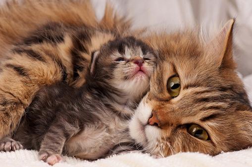 istock Siberian cat 480025920