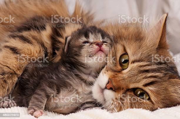 Siberian cat picture id480025920?b=1&k=6&m=480025920&s=612x612&h=xdu6zzgntwujm48ghj wlntj e7pjqcwichsuit6d3e=