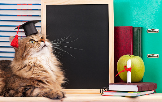 istock Siberian cat 480945372