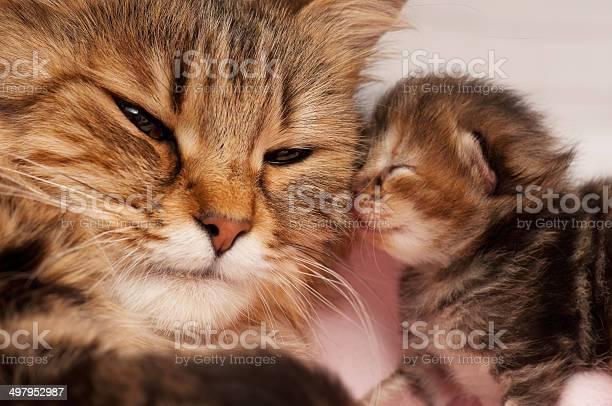 Siberian cat picture id497952987?b=1&k=6&m=497952987&s=612x612&h=ekhe7n0uyn bxv6mtjluey d5wbb1xpxgkvvpwppxgi=