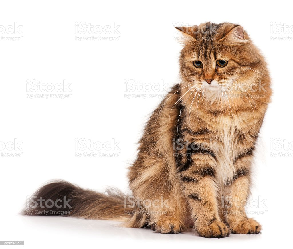 Siberian cat royalty-free stock photo