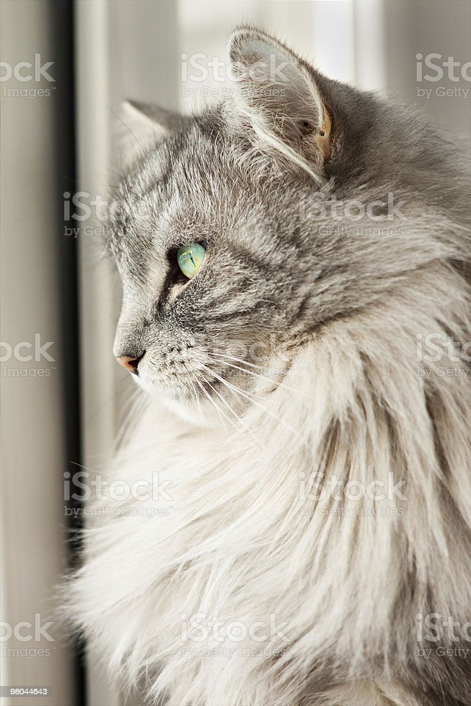 Siberian cat stock photo