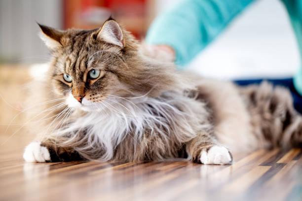Siberian cat relaxing on the floor indoors picture id1139569345?b=1&k=6&m=1139569345&s=612x612&w=0&h=uzsf7ex6n24bpdvyl0oada3taf6qdafcd1hjxr1euq0=