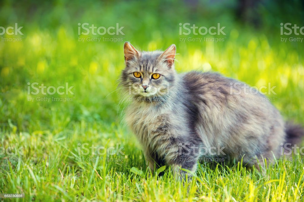 Siberian cat relaxing outdoor on the grass – Foto