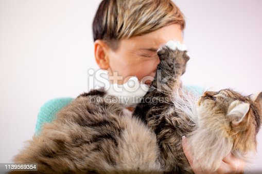 Siberian Cat Scratching His Owner.